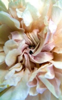 macroflowers2003665