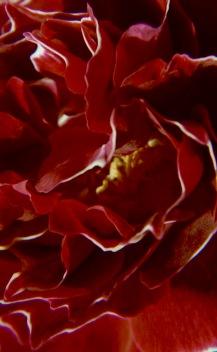macroflowers2003688